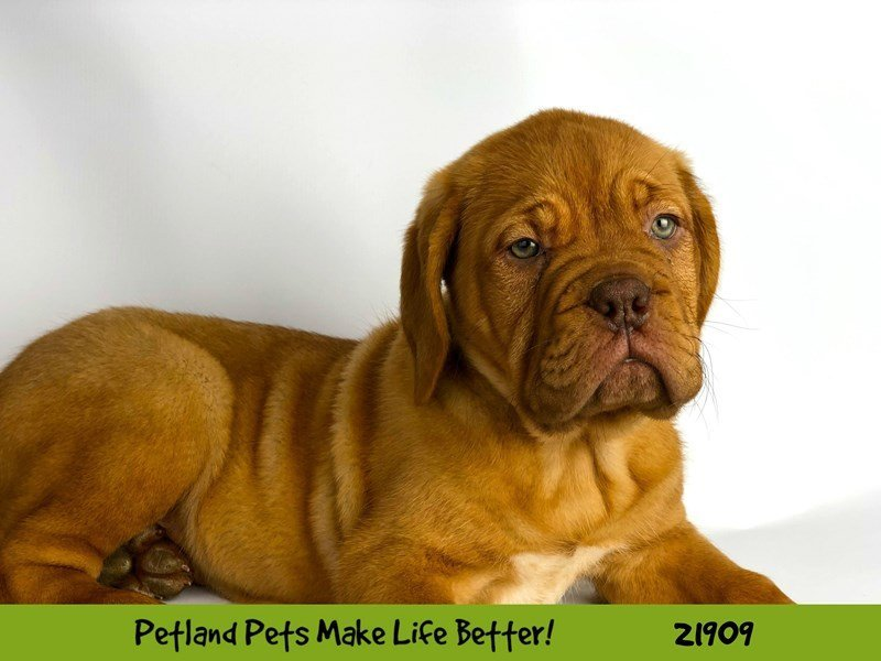 Dogue De Bordeaux-Female-Red-2304101-Petland Naperville