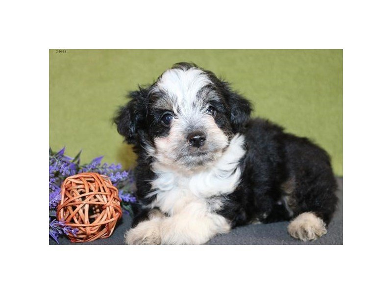 Aussiepoo-DOG-Female-Black / White-2309583-Petland Naperville