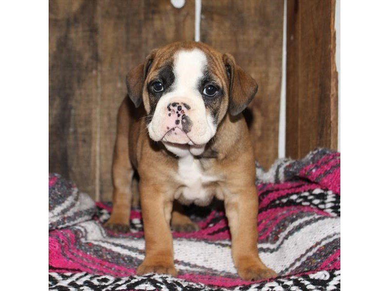 Beabull Bulldog-Female-Red-2310293-Petland Naperville