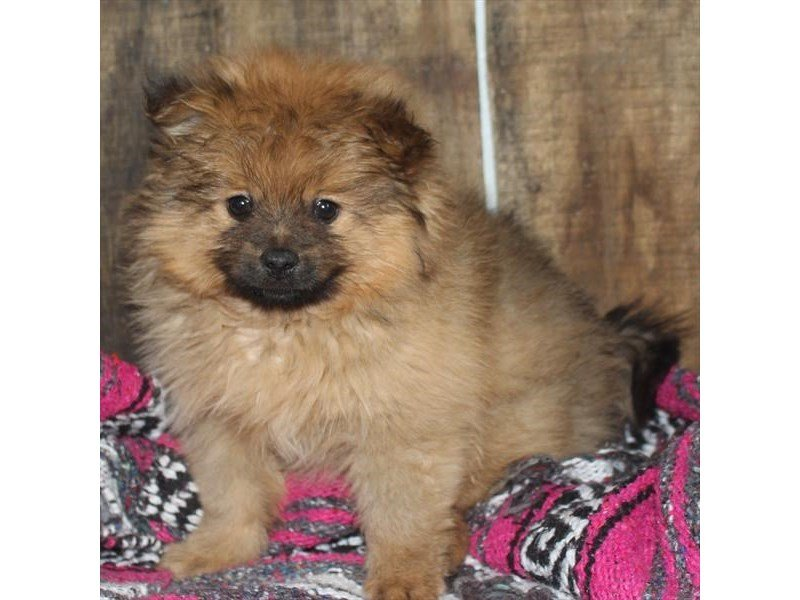 Pomeranian-Male-Orange-2310316-Petland Naperville