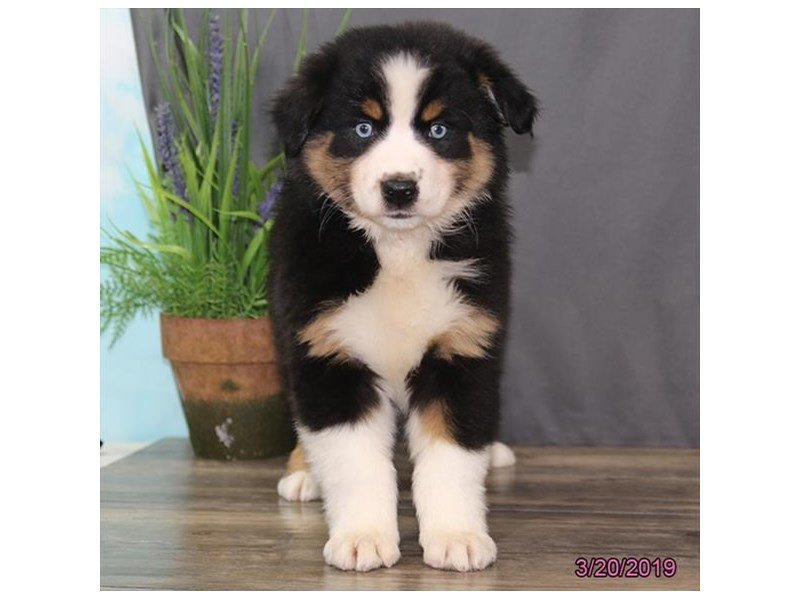 Australian Shepherd-DOG-Female-Black-2315142-Petland Naperville