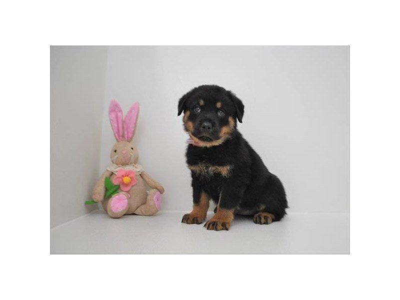 Rottweiler-Female-Black / Mahogany-2315162-Petland Naperville