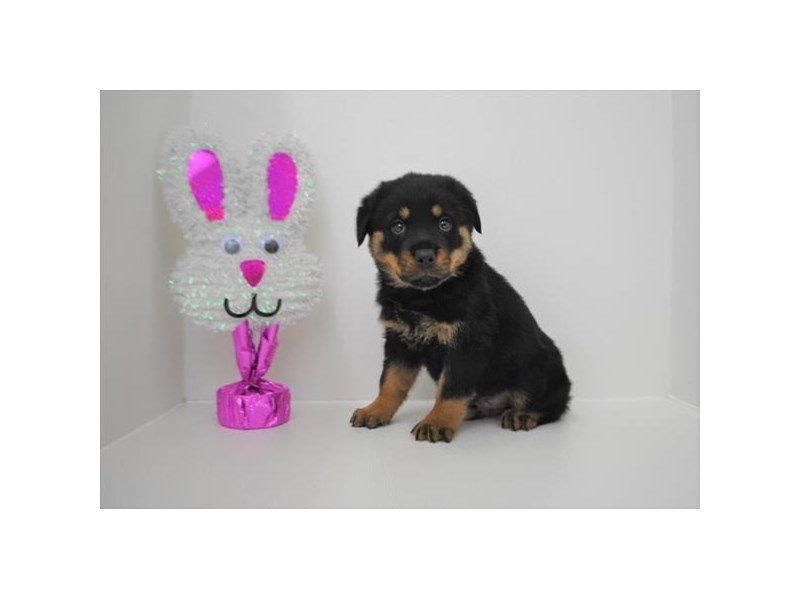 Rottweiler-DOG-Male-Black / Mahogany-2315163-Petland Naperville