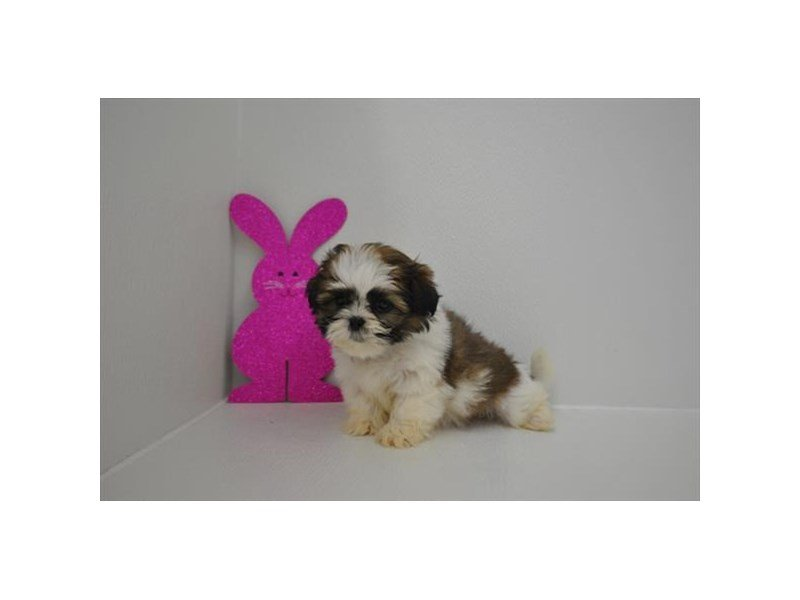 Shih Tzu-DOG-Female-Brindle / White-2315165-Petland Naperville