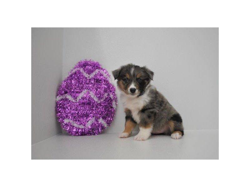 Miniature Australian Shepherd-DOG-Female-Blue Merle-2315168-Petland Naperville