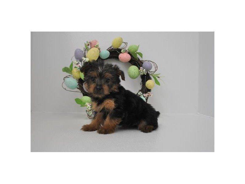 Yorkshire Terrier-DOG-Female-Black / Tan-2315171-Petland Naperville