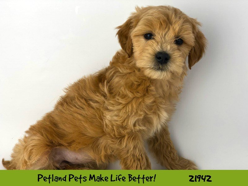 F1B Mini Goldendoodle-DOG-Female-Apricot-2315363-Petland Naperville