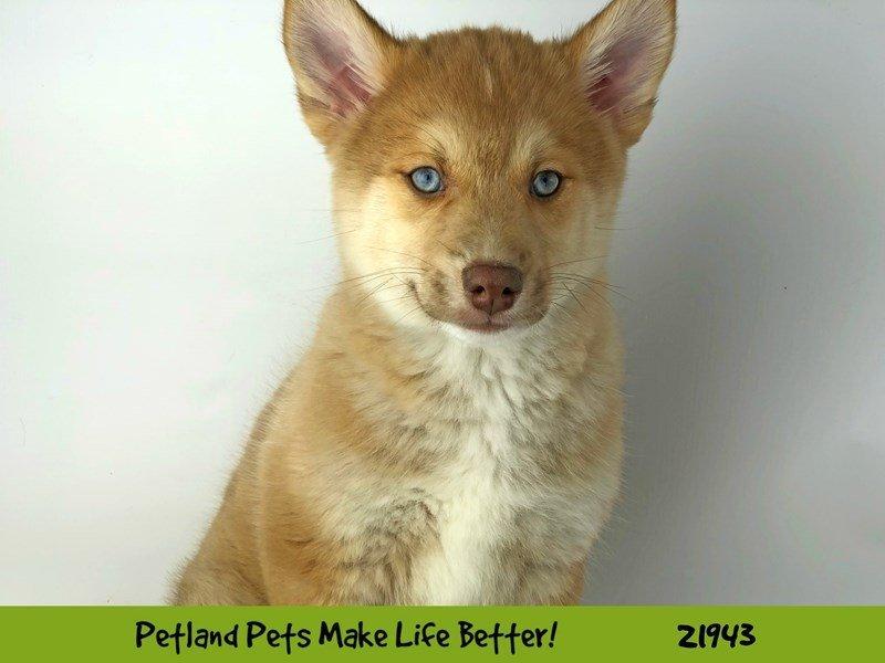 Pomsky-Male-Red/Wht-2315385-Petland Naperville