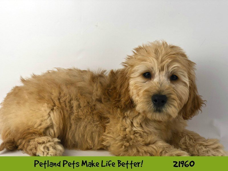 F1 Mini Golden Doodle-DOG-Male-Cream-2315979-Petland Naperville