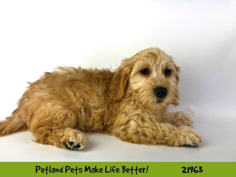 F1 Mini Golden Doodle-Female-Apricot-2316017-Petland Naperville