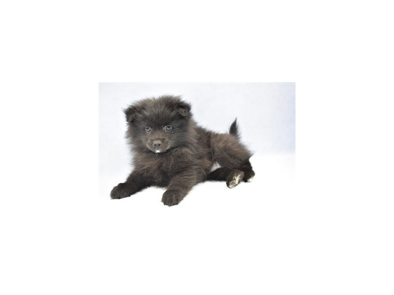 Pomeranian-DOG-Male-Black-2320156-Petland Naperville