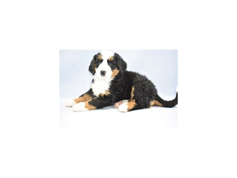 Bernese Mountain Dog-DOG-Female-Black Rust and White-2320171-Petland Naperville