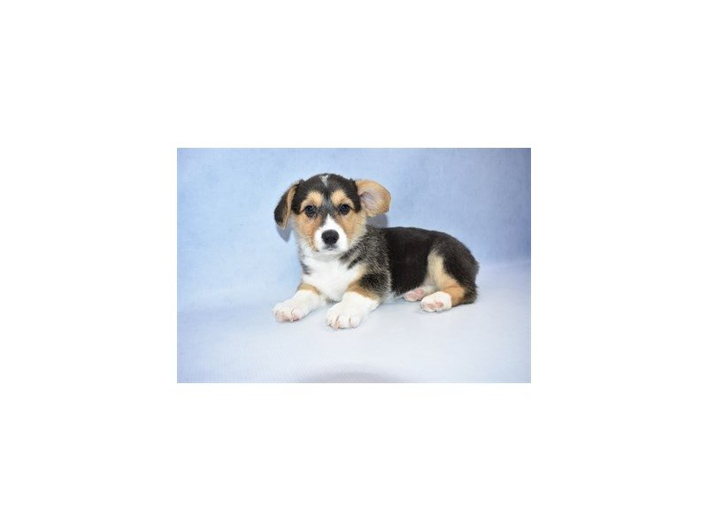 Pembroke Welsh Corgi-DOG-Female-Black and White-2320202-Petland Naperville