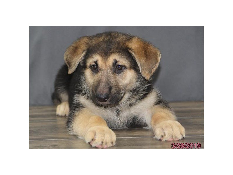 German Shepherd Dog-Female-Black / Tan-2320548-Petland Naperville
