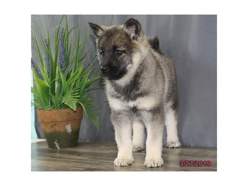 Norwegian Elkhound-Female-Black / Silver-2320549-Petland Naperville