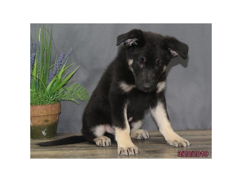 German Shepherd Dog-Male-Black / Tan-2320551-Petland Naperville