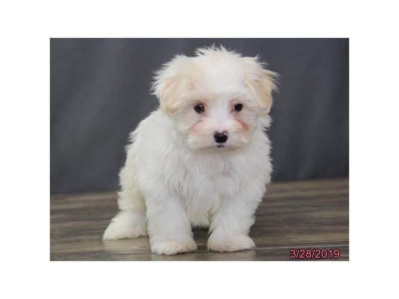 Maltese-DOG-Male-White-2320552-Petland Naperville