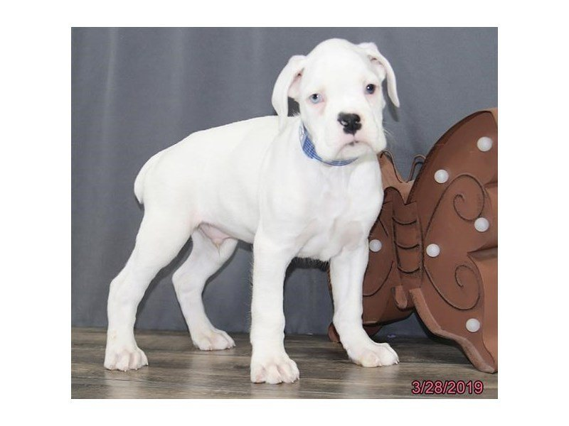 Boxer-DOG-Male-White-2320564-Petland Naperville