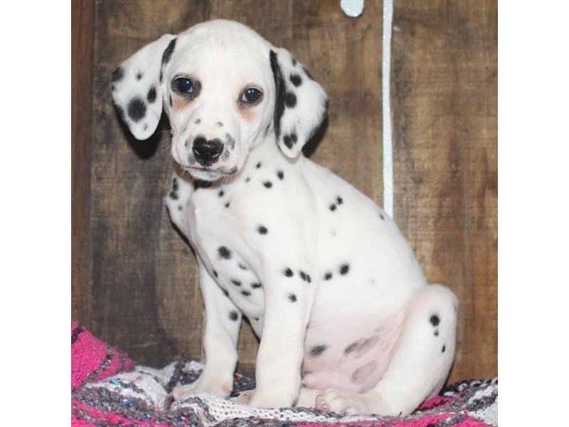 Dalmatian-DOG-Male-White / Black-2321279-Petland Naperville