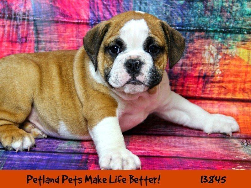 Bulldog-DOG-Male-Red / White-2320550-Petland Naperville