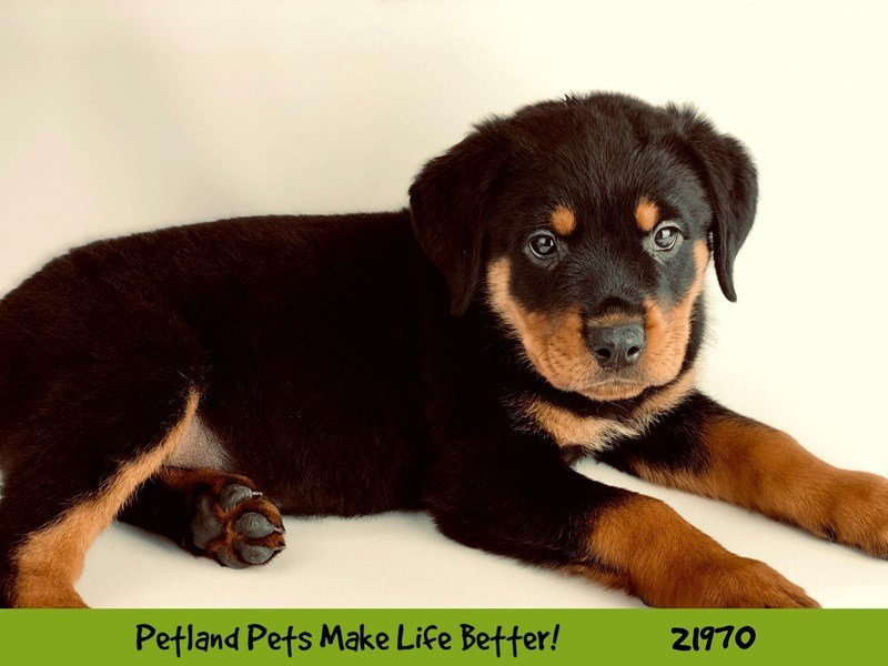 Rottweiler-DOG-Female-Blk/Tan-2320374-Petland Naperville
