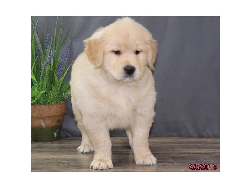 Golden Retriever-Female-Cream-2326005-Petland Naperville