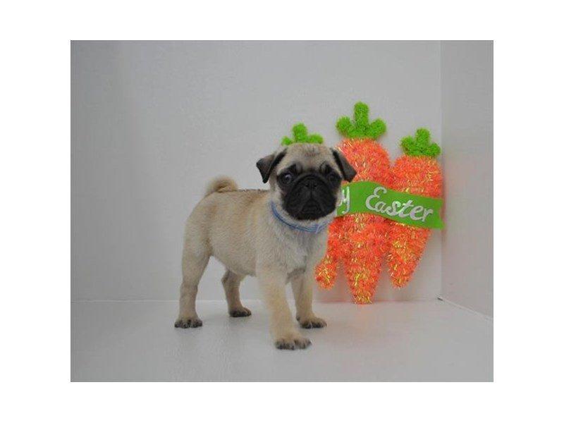 Pug-DOG-Female-Fawn-2326514-Petland Naperville
