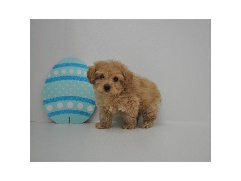 Poodle-DOG-Male-Apricot-2326518-Petland Naperville