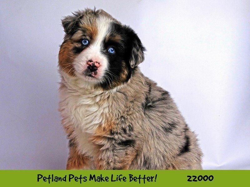 Miniature Australian Shepherd-DOG-Female-Blue Merle-2326042-Petland Naperville