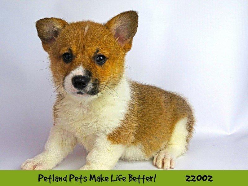 Pembroke Welsh Corgi-DOG-Female-Red/Wht-2326082-Petland Naperville