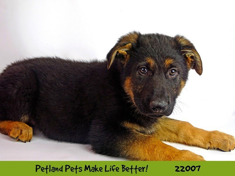 German Shepherd-Male-Blk/Tan-2326194-Petland Naperville