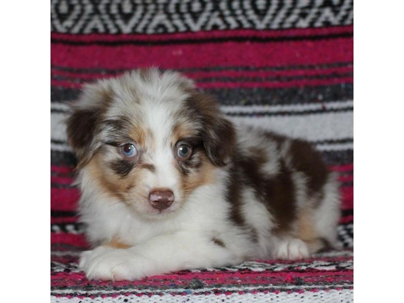 5a5fd012cb4 Miniature Australian Shepherd-Female-Red Merle-2331211-Petland Naperville