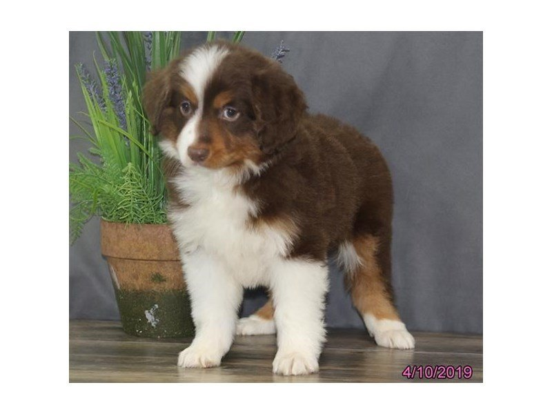 Miniature Australian Shepherd-DOG-Male-Red-2331259-Petland Naperville