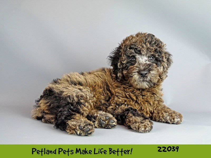 F1 Mini Golden Doodle-Female-Blue Merle-2331743-Petland Naperville