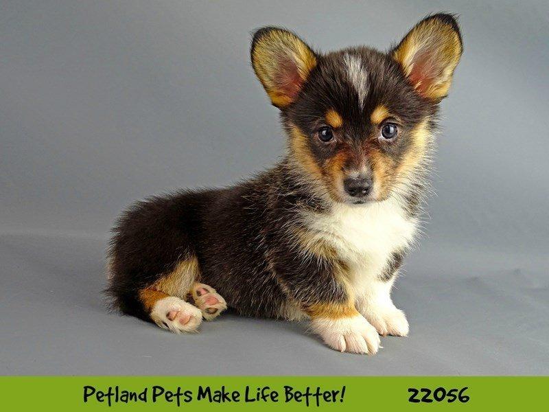 Pembroke Welsh Corgi-DOG-Female-Black Tri-2336861-Petland Naperville