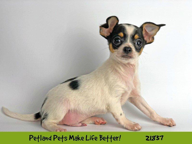 Chihuahua-DOG-Male-White-2287690-Petland Naperville