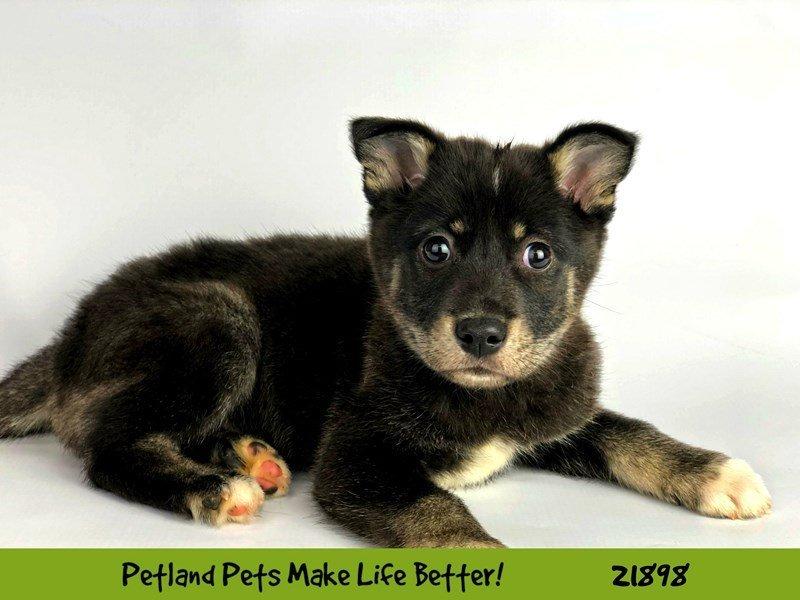 Alaskan Klee Kai-Female-Blk/Wht-2304374-Petland Naperville