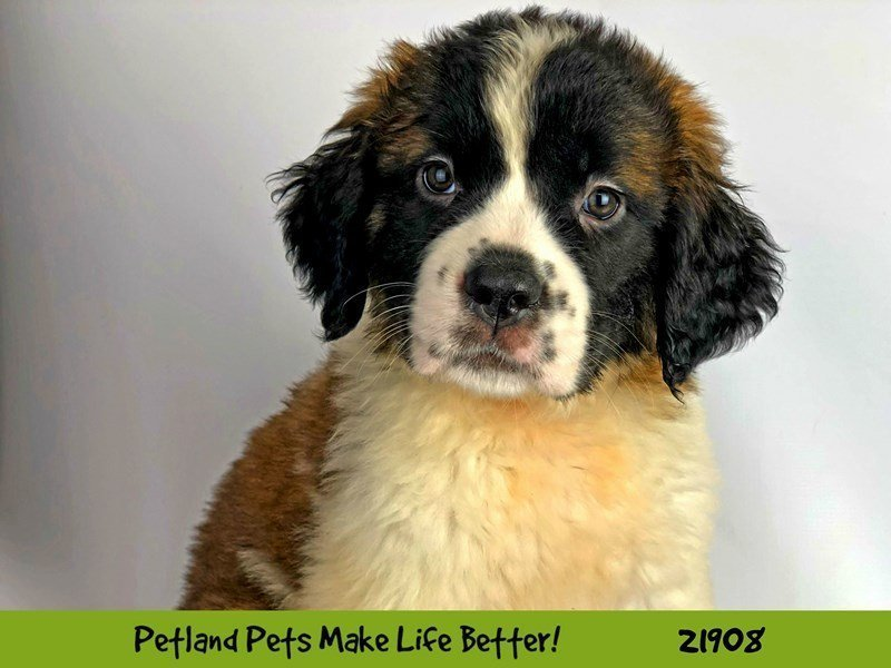 Saint Bernard-DOG-Female-Brown / White-2304081-Petland Naperville