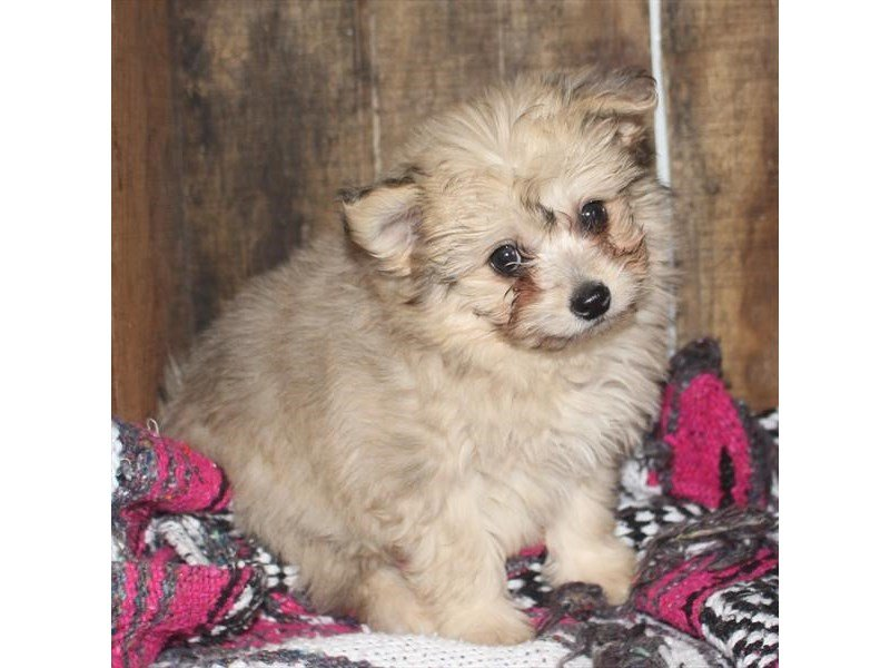 Pomachon-DOG-Female-Cream Sable-2310317-Petland Naperville