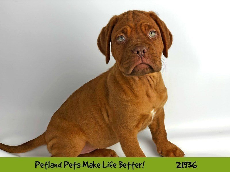 Dogue De Bordeaux-Female-Red-2310356-Petland Naperville