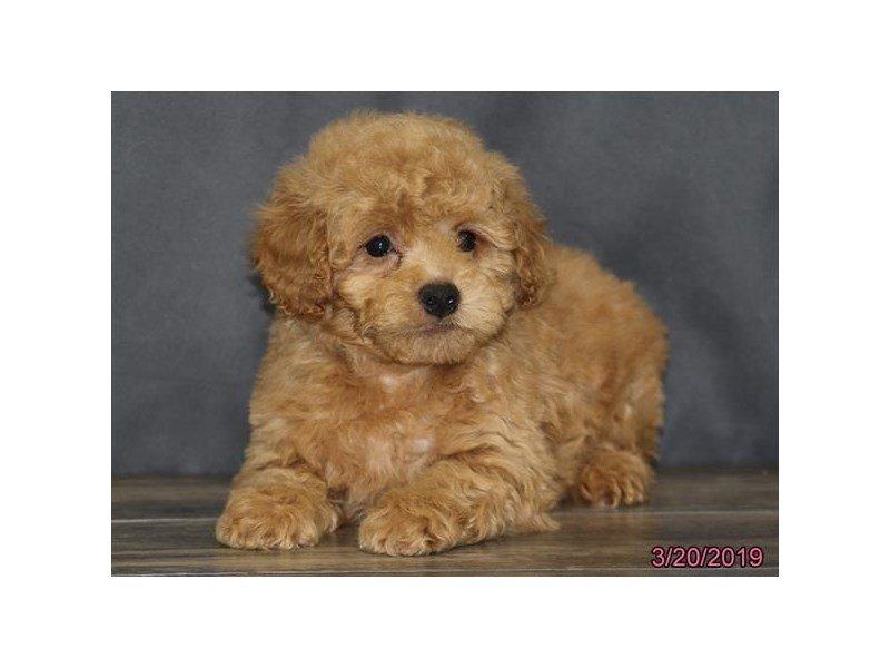 Poodle-Male-Apricot-2315145-Petland Naperville