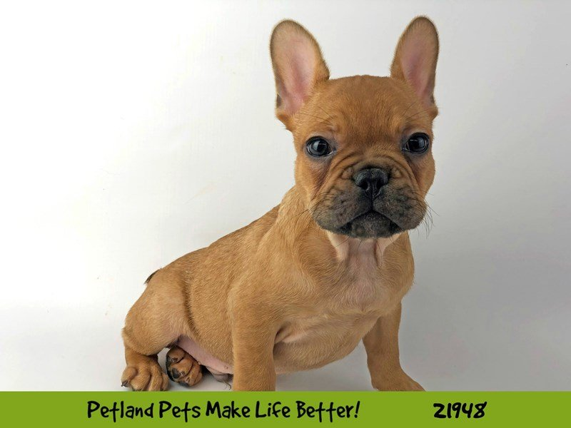 French Bulldog-Male-Brown-2315768-Petland Naperville