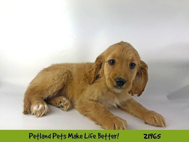 Comfort Golden-DOG-Female-Golden-2316022-Petland Naperville
