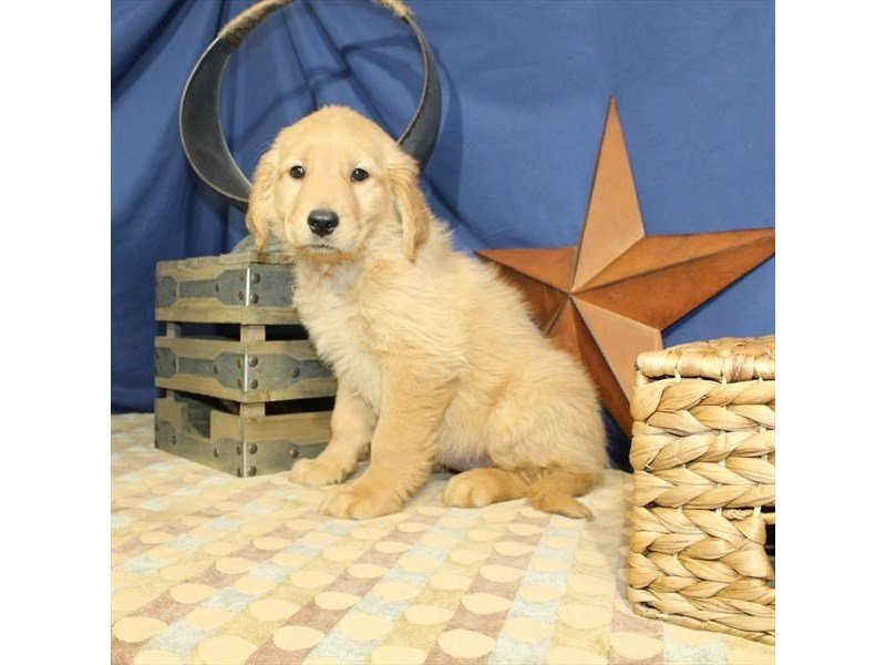 Golden Retriever-Female-Golden-2320547-Petland Naperville