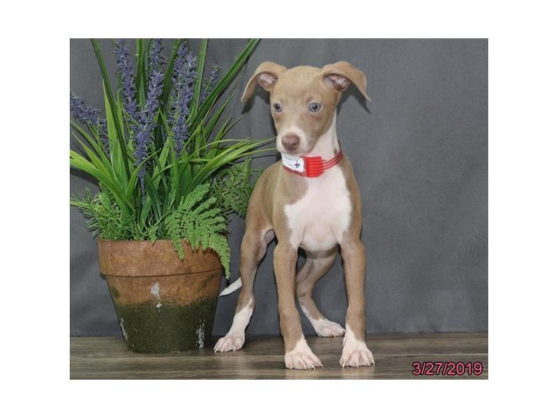 Italian Greyhound-DOG-Female-Seal / White-2320565-Petland Naperville