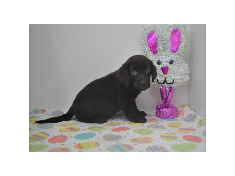 Labrador Retriever-DOG-Female-Chocolate-2320606-Petland Naperville