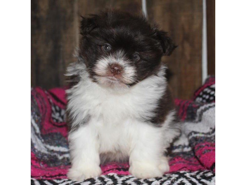Pomapoo-DOG-Male-Chocolate / White-2321280-Petland Naperville