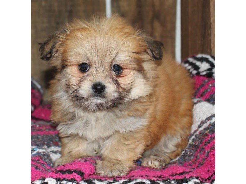 Malshi Pom-DOG-Female-Orange-2321325-Petland Naperville