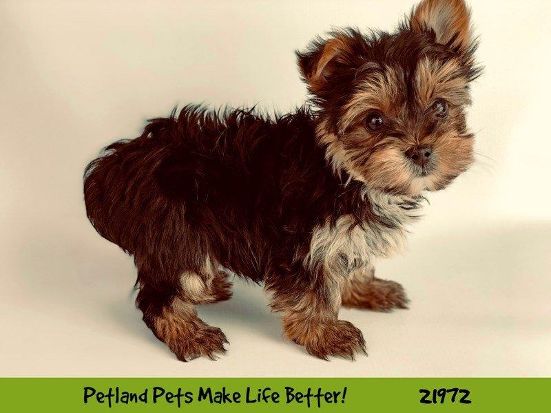 Yorkshire Terrier-Male-BLK/TAN-2320488-Petland Naperville