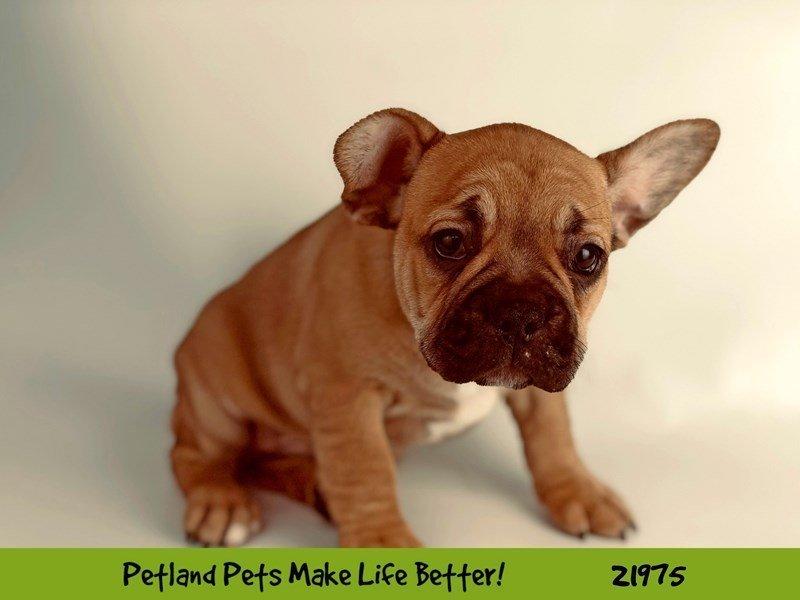 French Bulldog-Male-Tan-2320589-Petland Naperville